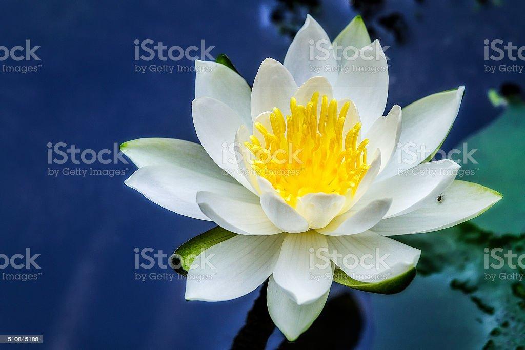 Beautiful Lotus - Water Lily stock photo