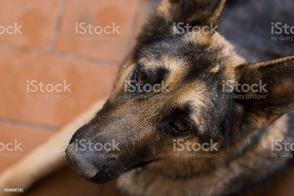Beautiful loyal german shepherd stock photo