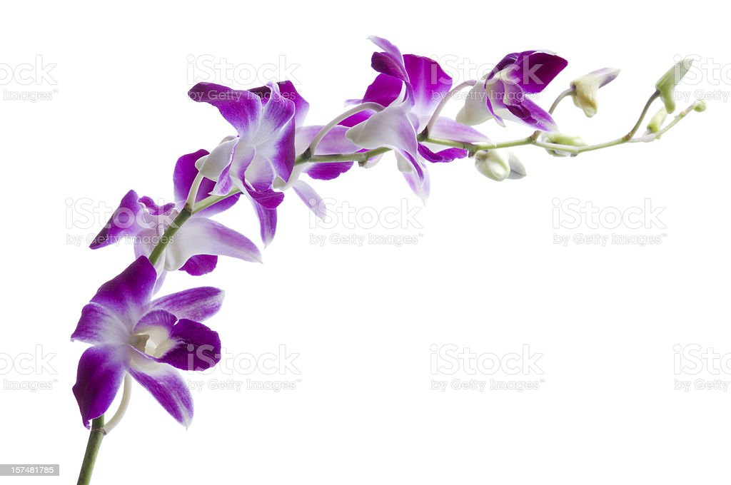 Beautiful luxury purple dendrobium orchids on white stock photo