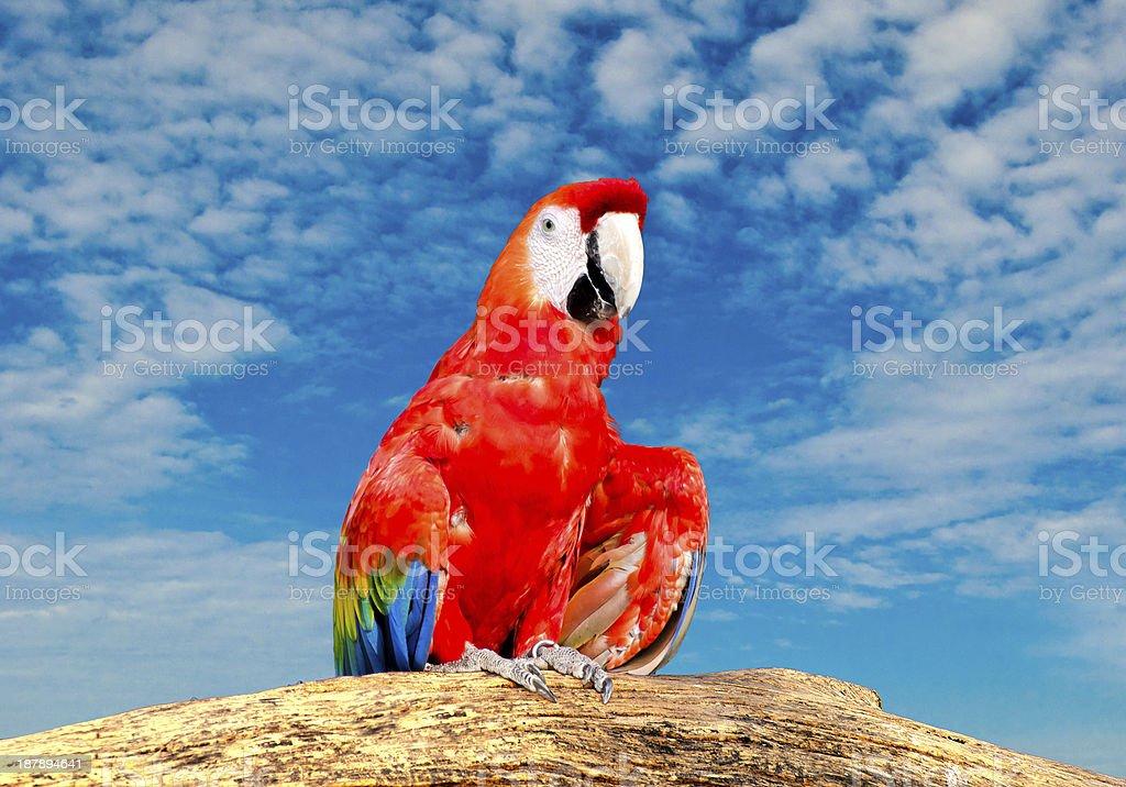Beautiful macaw isolated on white background royalty-free stock photo