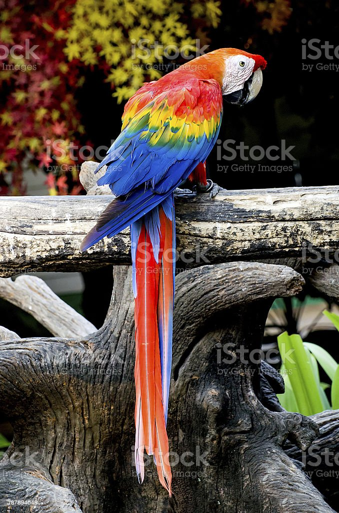 Beautiful macaw royalty-free stock photo