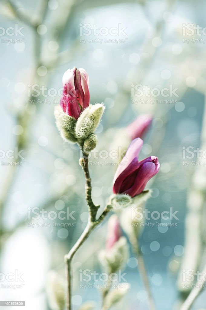 beautiful magnolia blossoming over blurred background stock photo