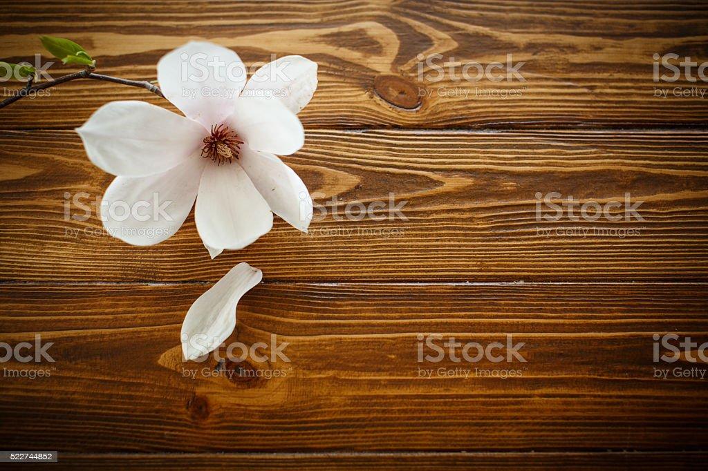 beautiful magnolia flower stock photo