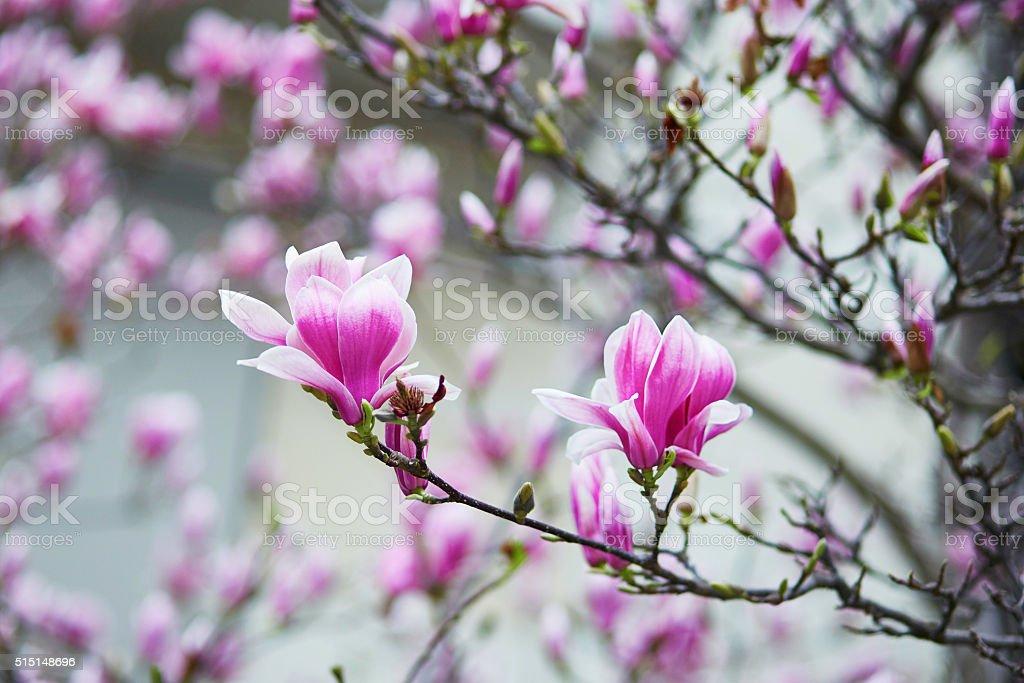 Beautiful magnolia in full bloom stock photo