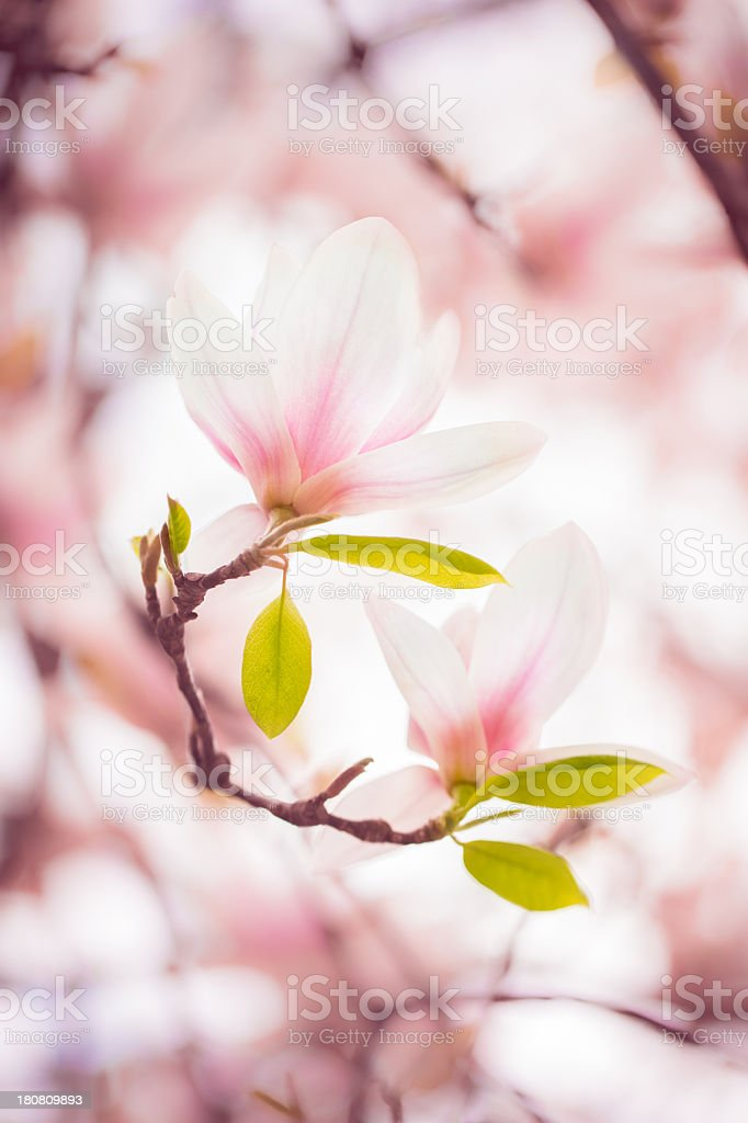 Beautiful magnolia in spring stock photo