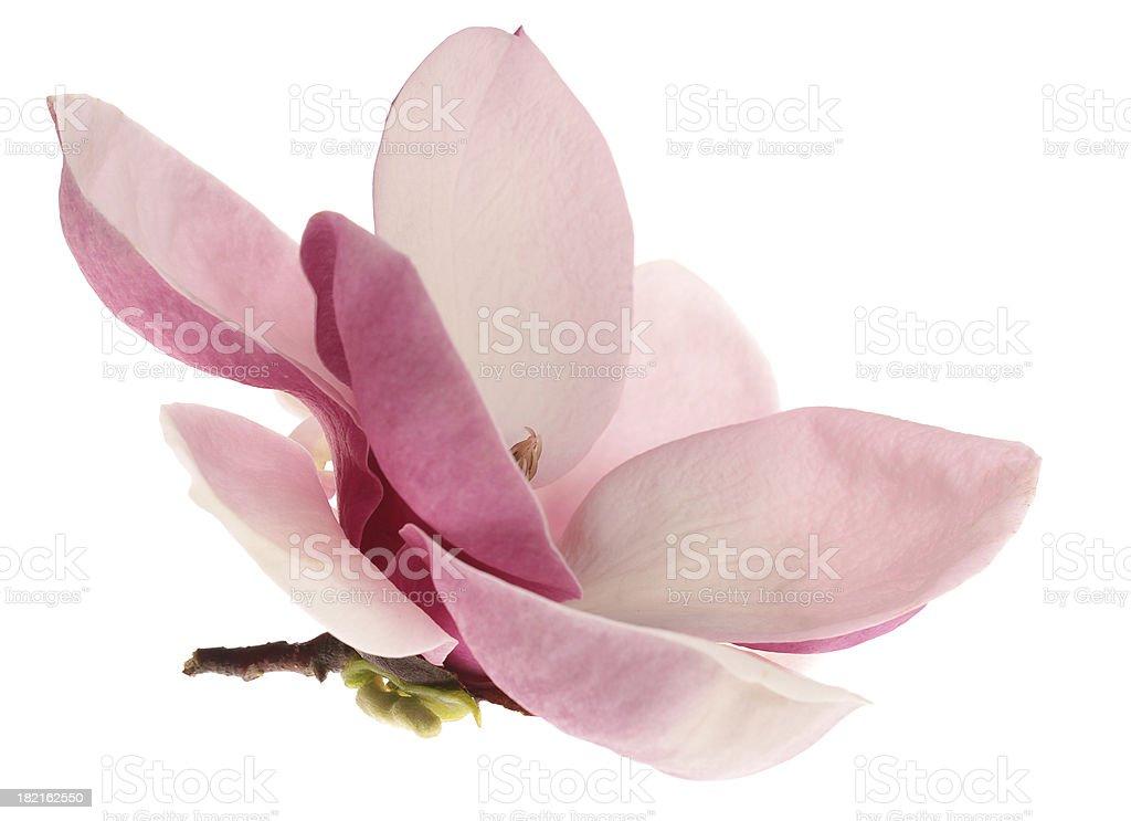Beautiful magnolia  isolated on white royalty-free stock photo