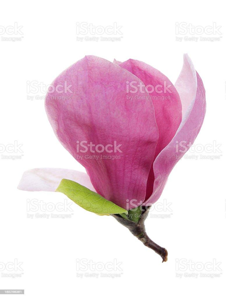 Beautiful magnolia  soulangeana Susan isolated on white stock photo
