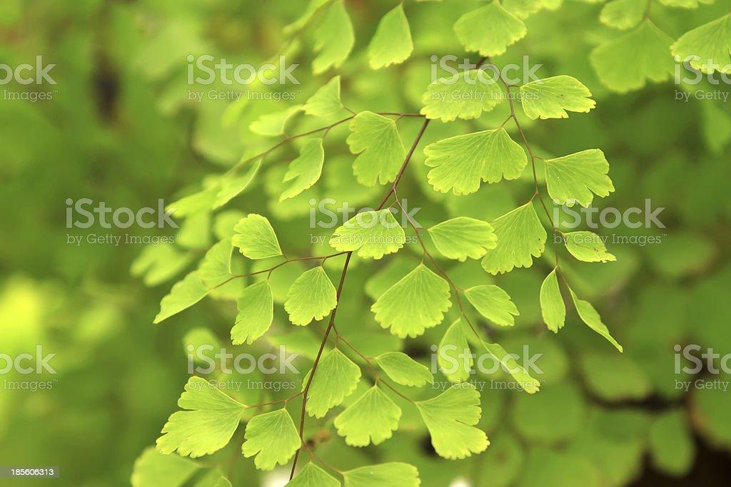 beautiful maidenhair fern royalty-free stock photo