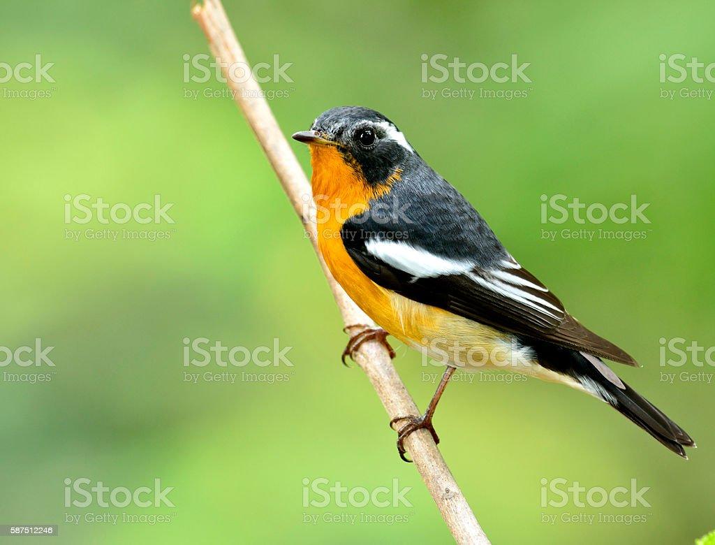 Beautiful Male of Mugimaki Flycatcher bird (Ficedula strophiata) stock photo