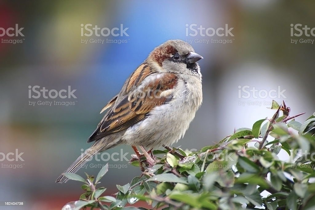 beautiful male sparrow royalty-free stock photo