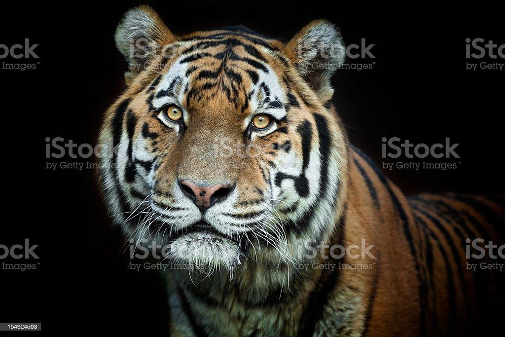 Beautiful Male Tiger XXXL stock photo