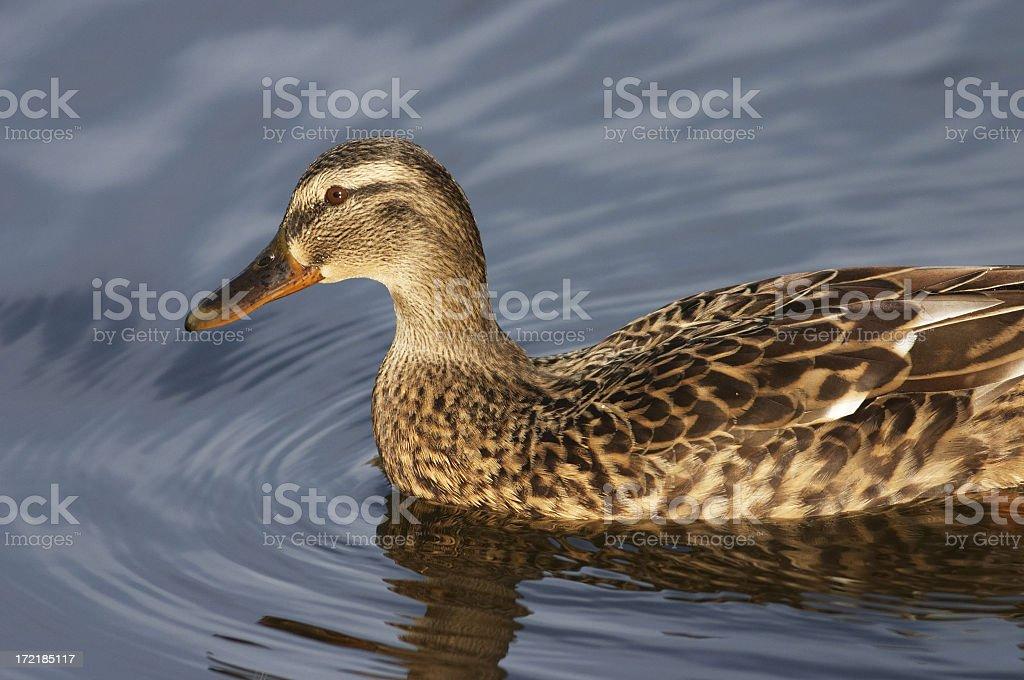 Beautiful mallard duck Anas platyrhynchos royalty-free stock photo