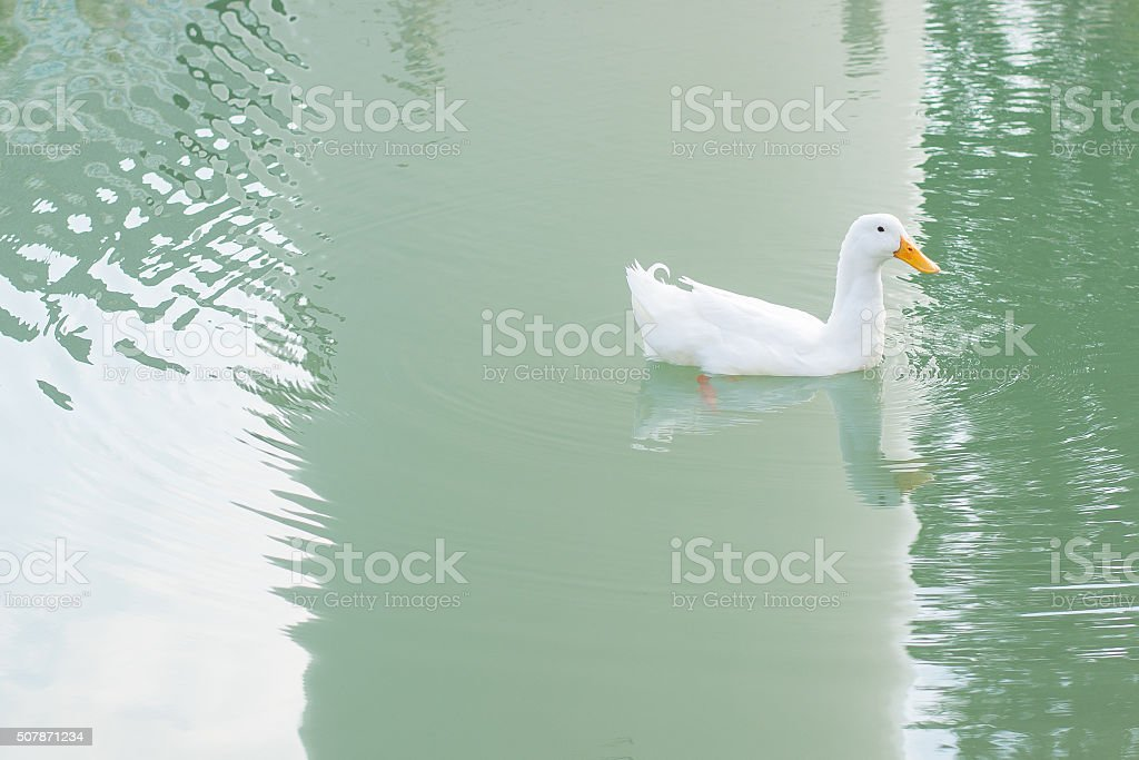 beautiful mallard duck in the water stock photo