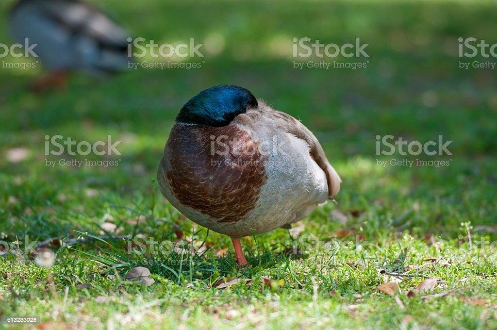 Beautiful mallard duck resting stock photo