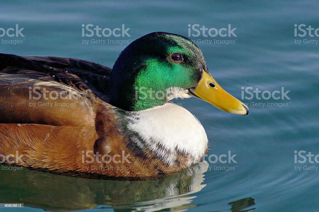 Beautiful Mallard royalty-free stock photo