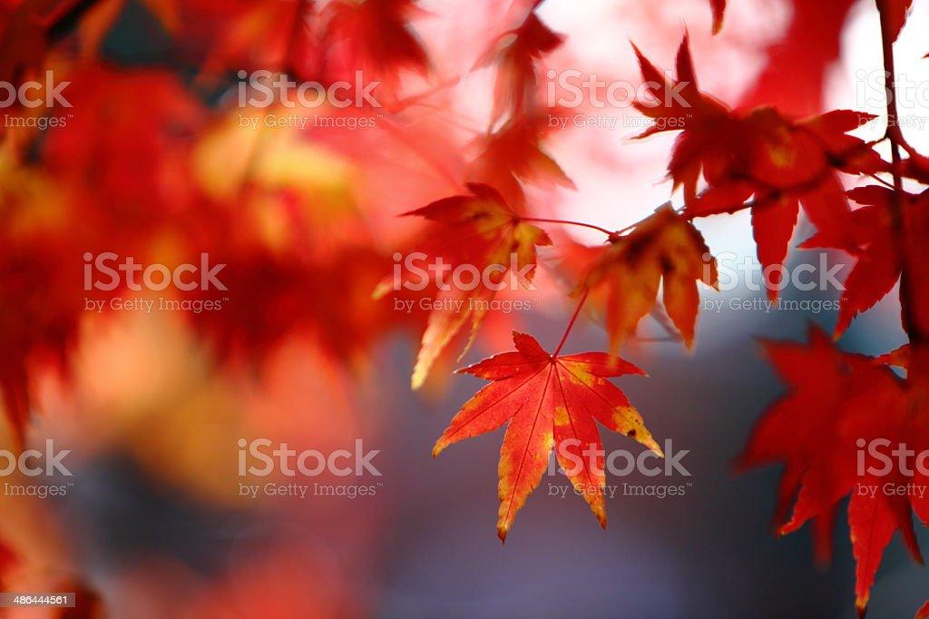 beautiful maple stock photo