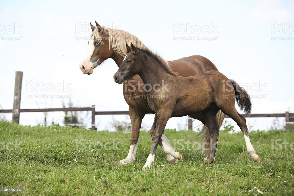 Beautiful mare with foal running stock photo