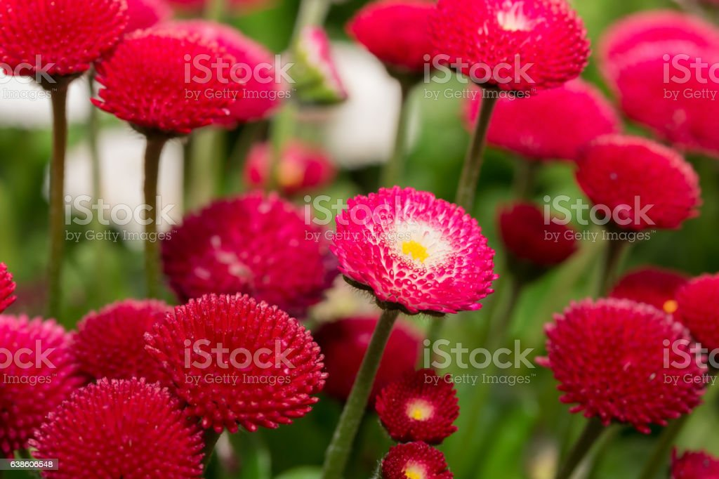 Beautiful marguerite daisy flower blooming in garden. stock photo