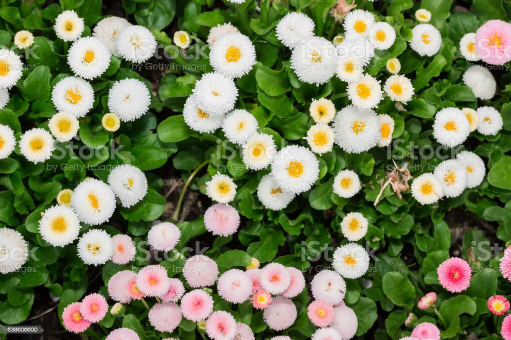 Beautiful marguerite daisy flower blooming in garden. stock photo