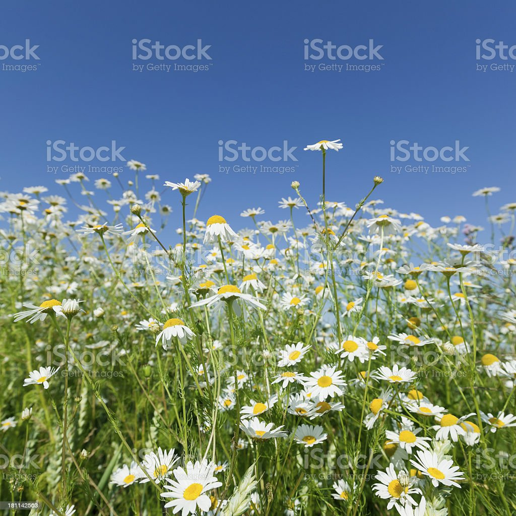Beautiful Marguerites Against The Blue Sky royalty-free stock photo