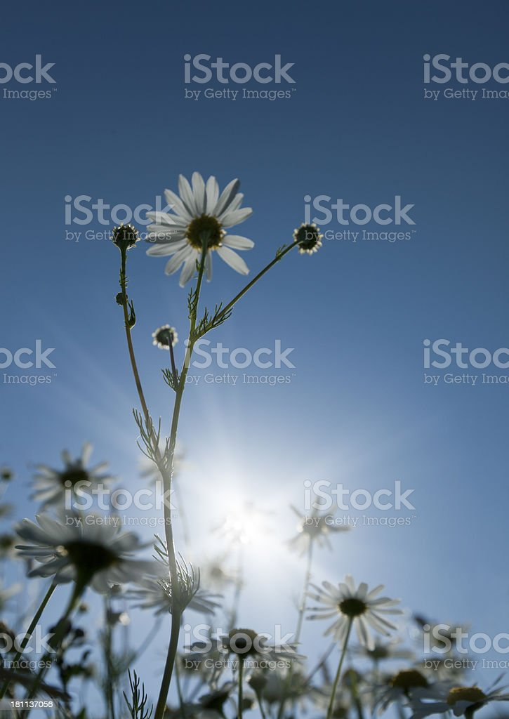 Beautiful Marguerites Against The Sun royalty-free stock photo