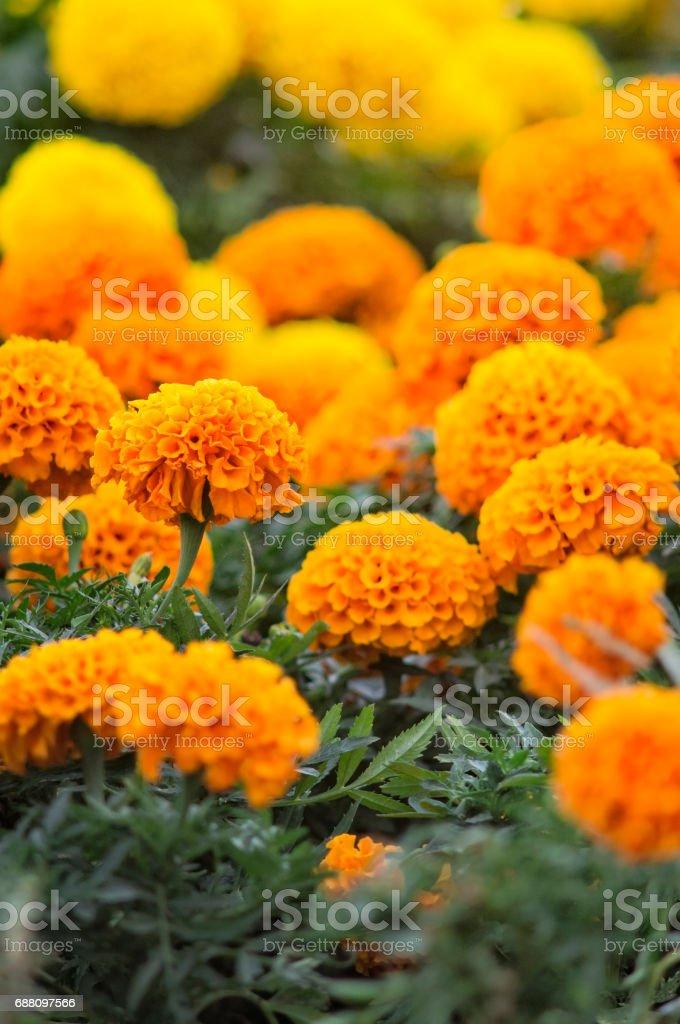 Beautiful marigold flowers stock photo