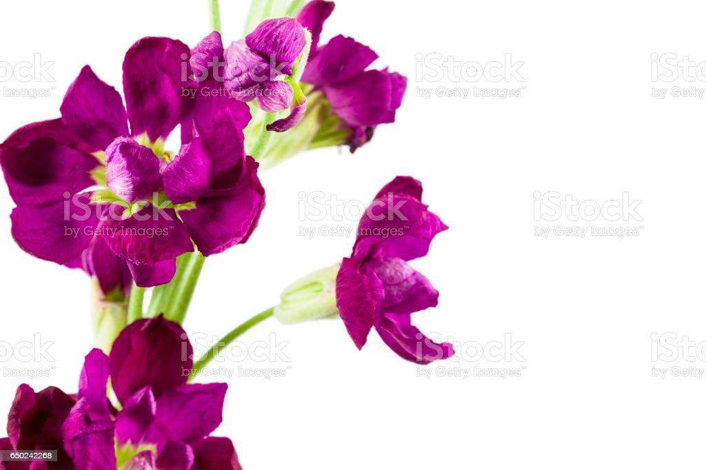 beautiful matthiola flower isolated on white background stock photo