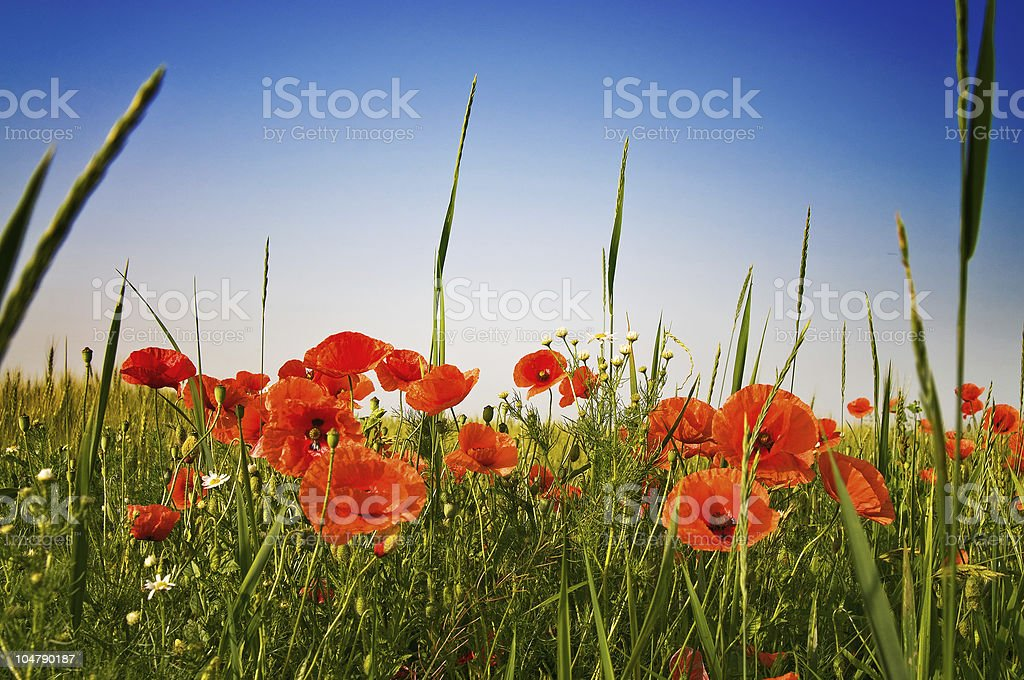 Beautiful meadow by summer. royalty-free stock photo