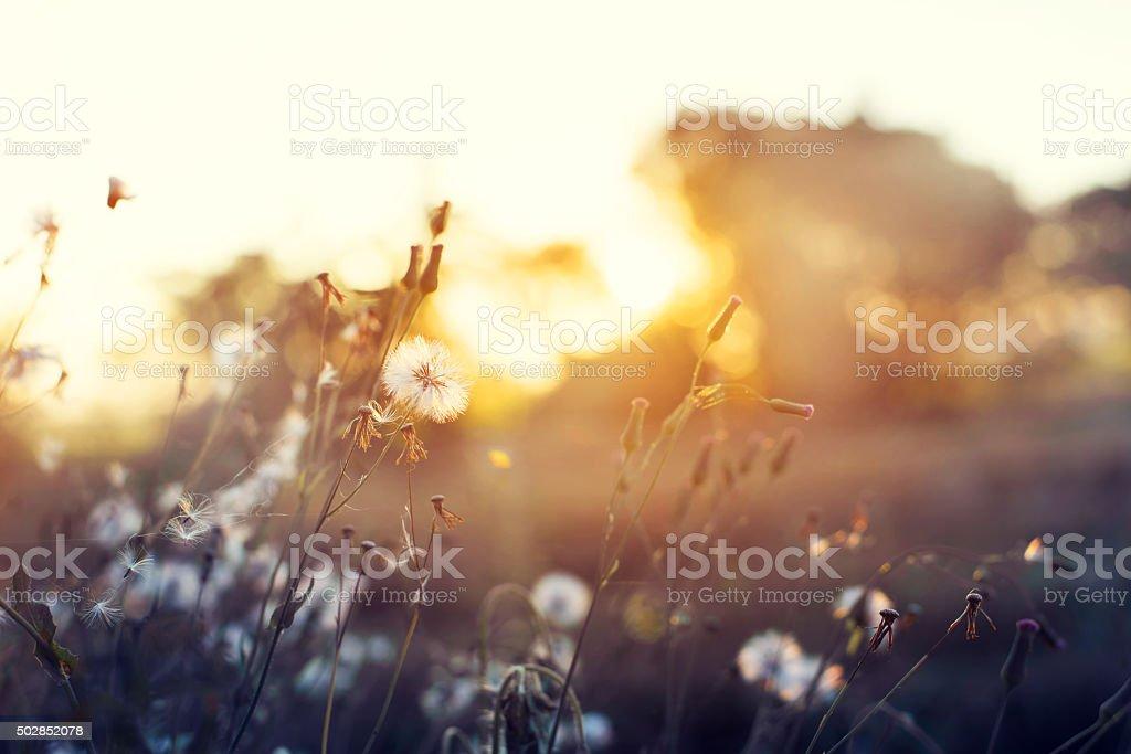 beautiful meadow dandelion flowers stock photo