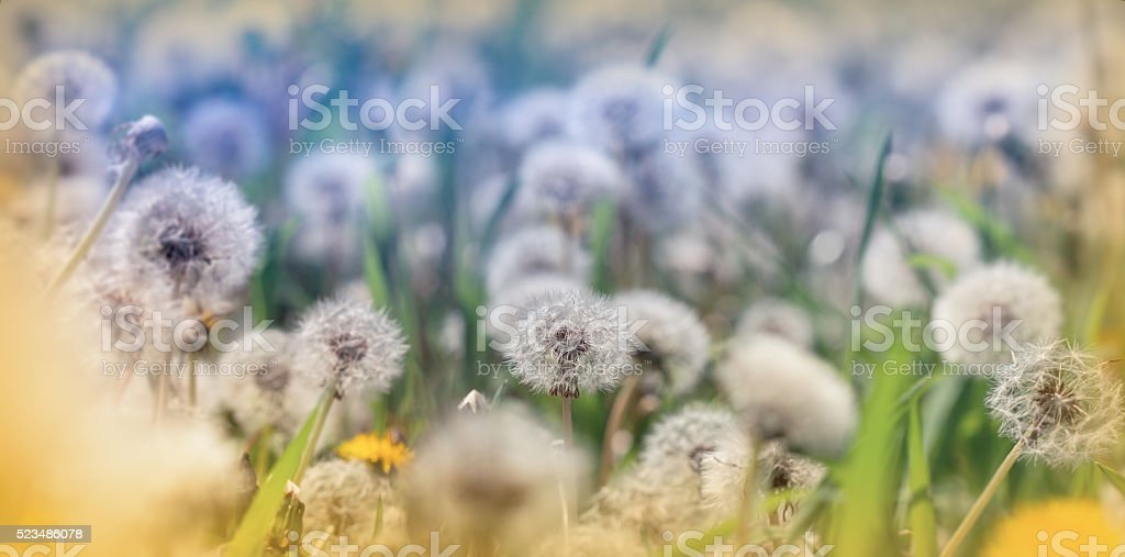 Beautiful meadow in spring - dandelion seeds stock photo