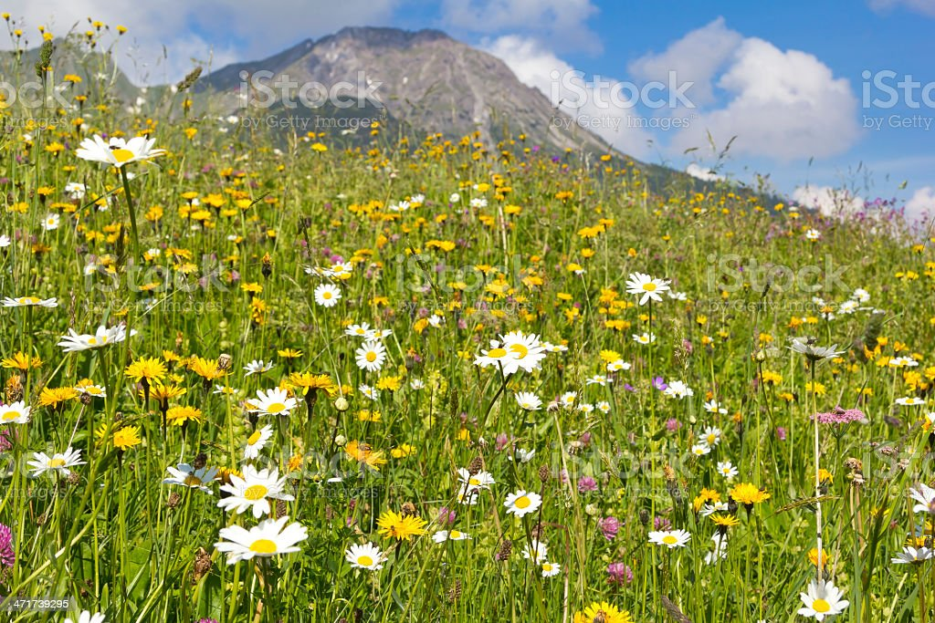 Beautiful meadow in the Alps stock photo