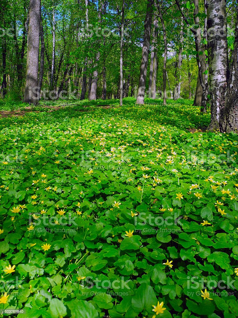 Beautiful meadow of flowering buttercups. stock photo