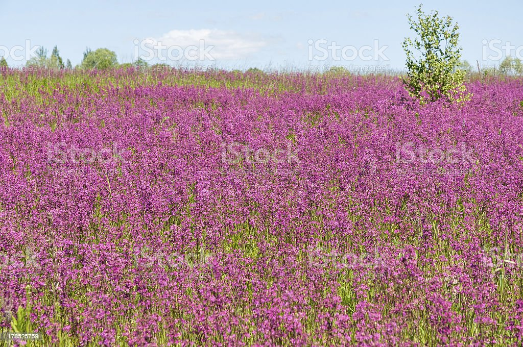 Beautiful meadow with blossom carpet of Maiden Pink flowers royalty-free stock photo