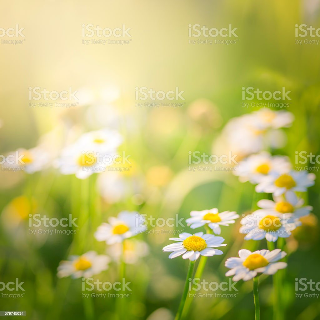 Beautiful meadow with daisies stock photo