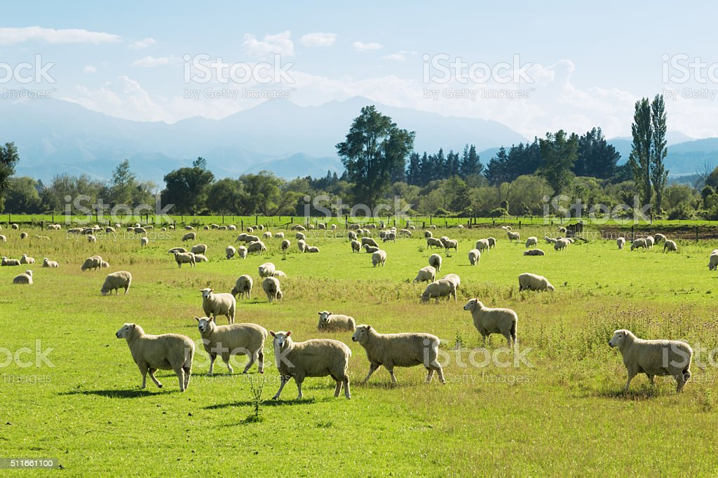 beautiful meadow with sheep in blue sky stock photo