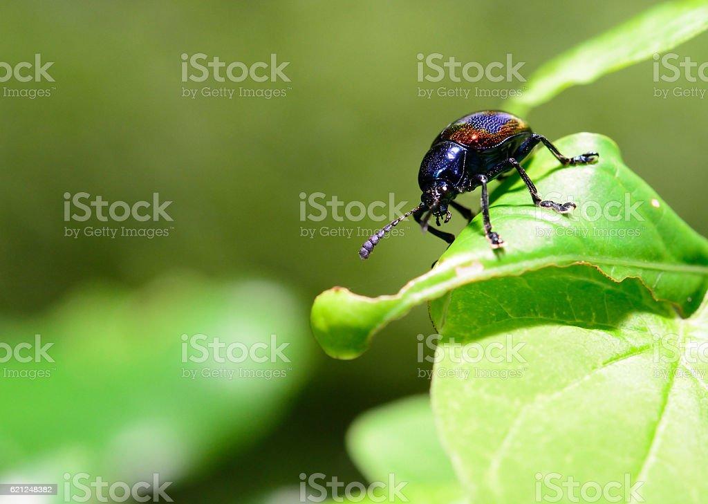 Beautiful metallic blue leaf beetle stock photo