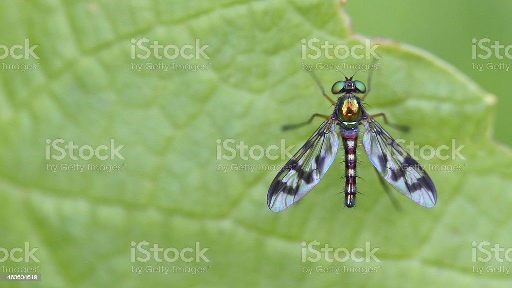 Beautiful Metallic Fly with Striped Wings royalty-free stock photo