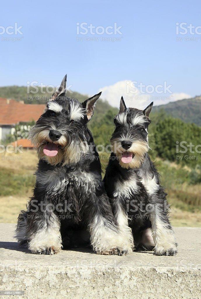 Beautiful miniature schnauzer pair stock photo