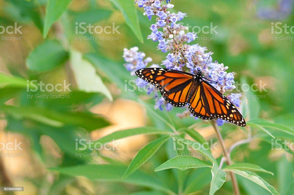 Beautiful monarch butterfly stock photo