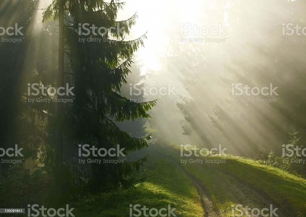 Beautiful morning in the forest royalty-free stock photo