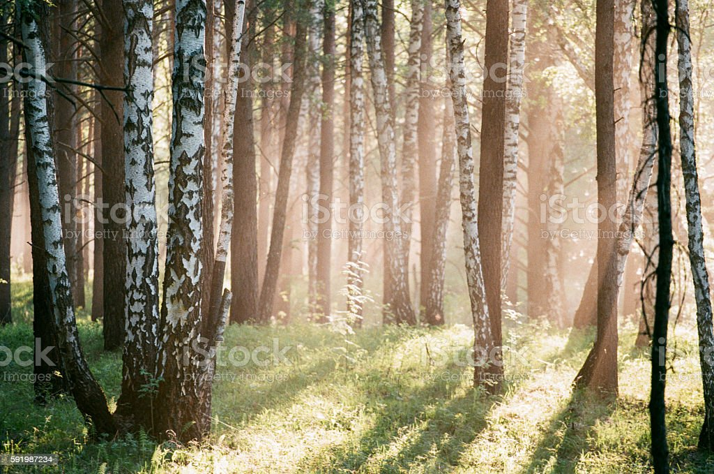 Beautiful morning scene in the forest with sun rays royalty-free stock photo