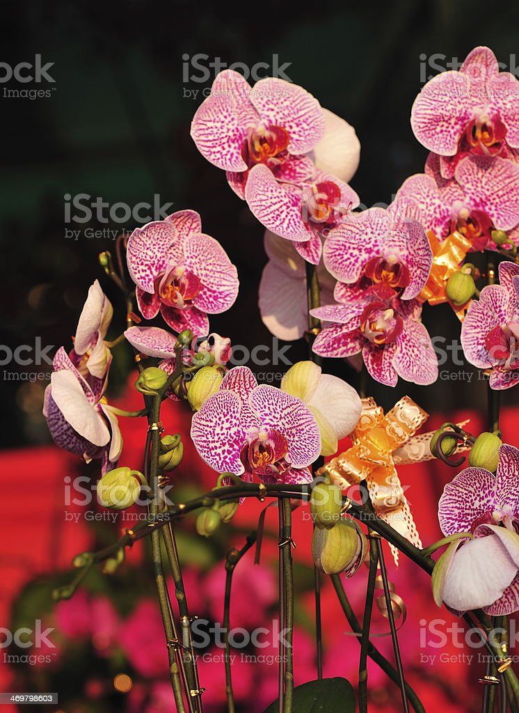 Beautiful moth orchid royalty-free stock photo