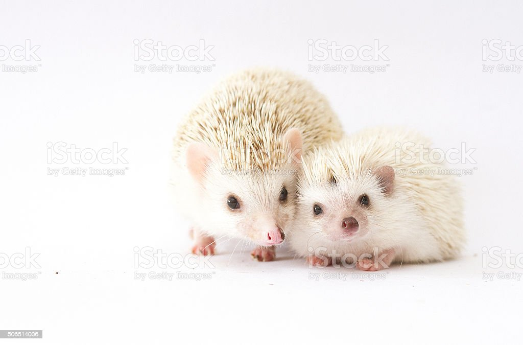 beautiful mother african pygmy hedgehog with young hedgehog baby stock photo