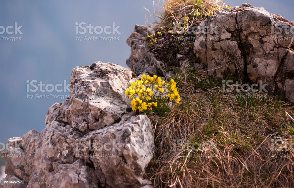 Beautiful mountain flowers growing on a rock in the spring. Tatra mountains stock photo