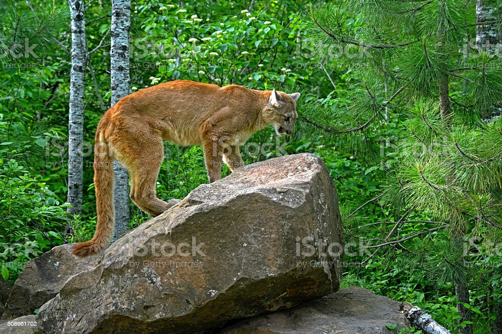 Beautiful Mountain Lion standing on a large boulder. stock photo