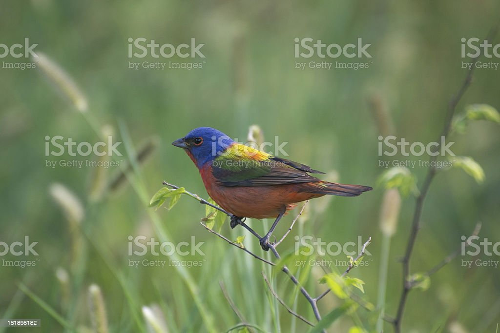 Beautiful Multicolored Male Painted Bunting Bird royalty-free stock photo