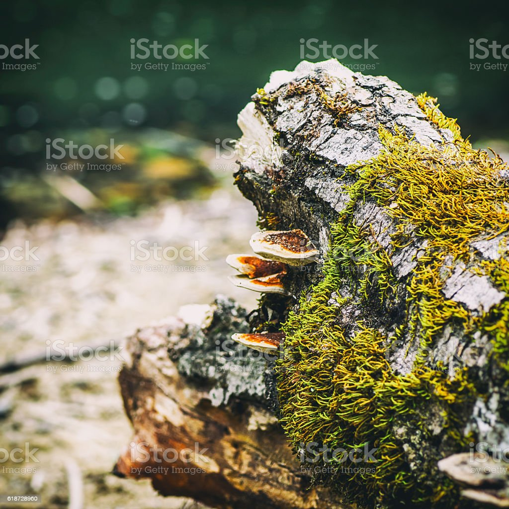 Beautiful mushrooms on tree stump trunk along river in forest stock photo