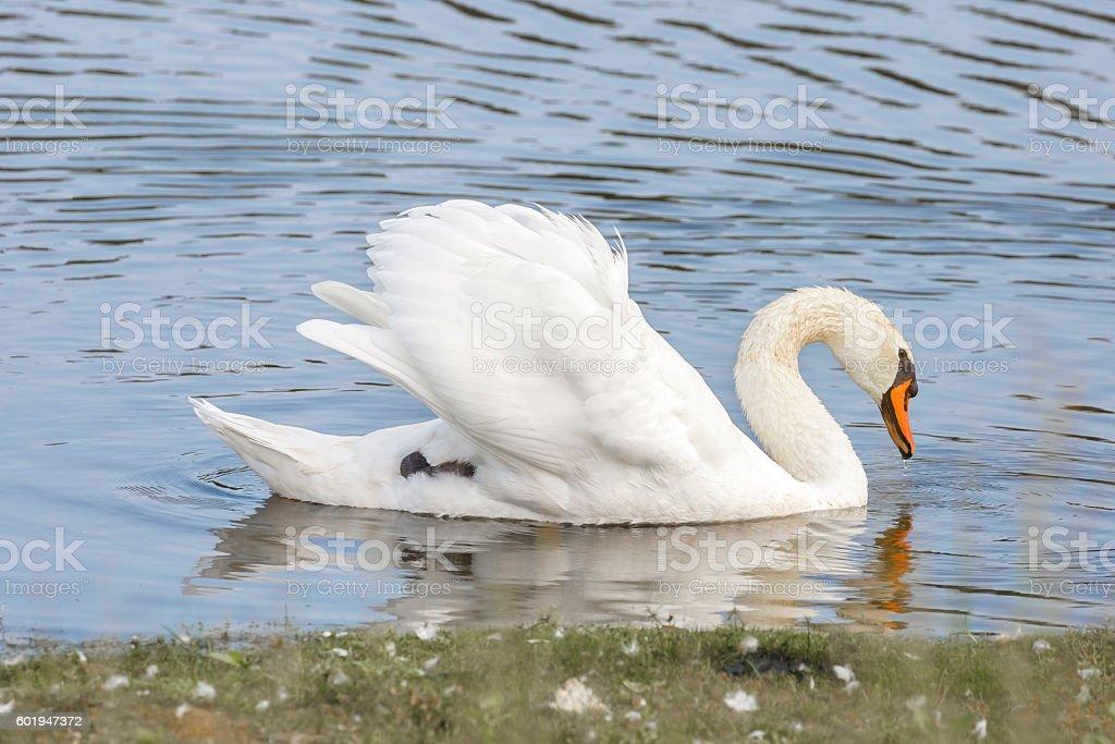 Beautiful Mute Swan (Cygnus Olor) With Wings Raised stock photo