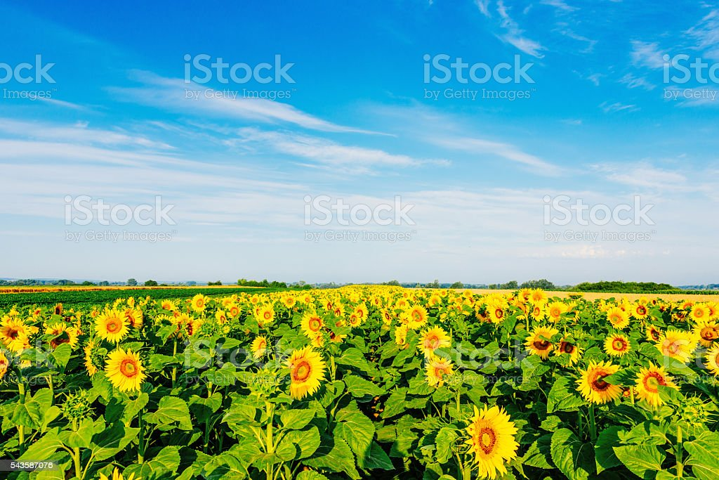 Beautiful nature and landscape with sunflowers stock photo