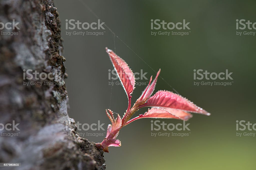 Beautiful nature close-up growth Cherry pink Blossom leaf stock photo